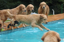 Golden retriever with orthotic on their knee diving into pool playing with other Golden retriever dogs.